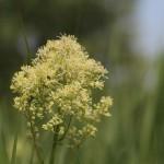 Pigamon jaune