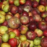 Les pommes du verger conservatoire