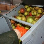 Les pommes sont dirigées vers le broyeur